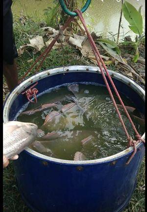 15 Budidaya Ikan Gurame di Kolam Terpal agar Berkembang