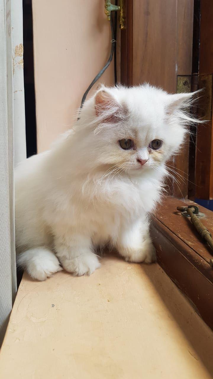 Perilaku Kucing Setelah Melahirkan : perilaku, kucing, setelah, melahirkan, Merawat, Kucing, Pasca, Melahirkan, Halaman, Kompasiana.com