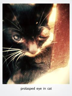Sakit Mata Pada Kucing : sakit, kucing, Penyakit, Kucing, Seperti, Keluar, Matanya, Kompasiana.com