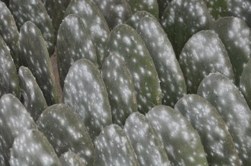 A waxy white substance covers the cochineal insect for protection.