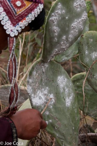 The cochineal insect is individually removed from the cactus pad.