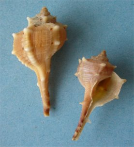 Two shells of Bolinus brandaris, the spiny dye-murex, source of the dye. Photo credit: M. Violante, Haustellum brandaris.