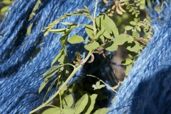 The indigo-colored yarn from the indigofera suffruticosa plant.