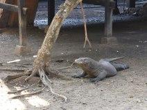 Ah yes, the Komodo dragon.