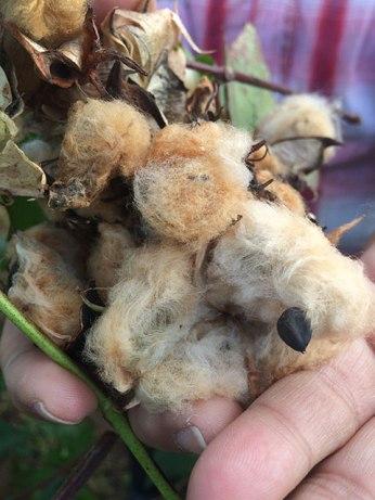 Acadian brown cotton variety Gossypium hirsutum.