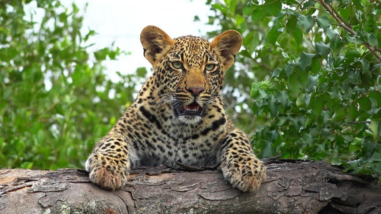 leopard kingdom national geographic