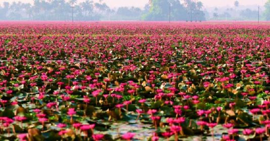 Pink water lilies e-festival in Kerala - Real News India | DailyHunt