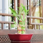 Vastu Tips For Keeping Bamboo Plant At Home Housing News