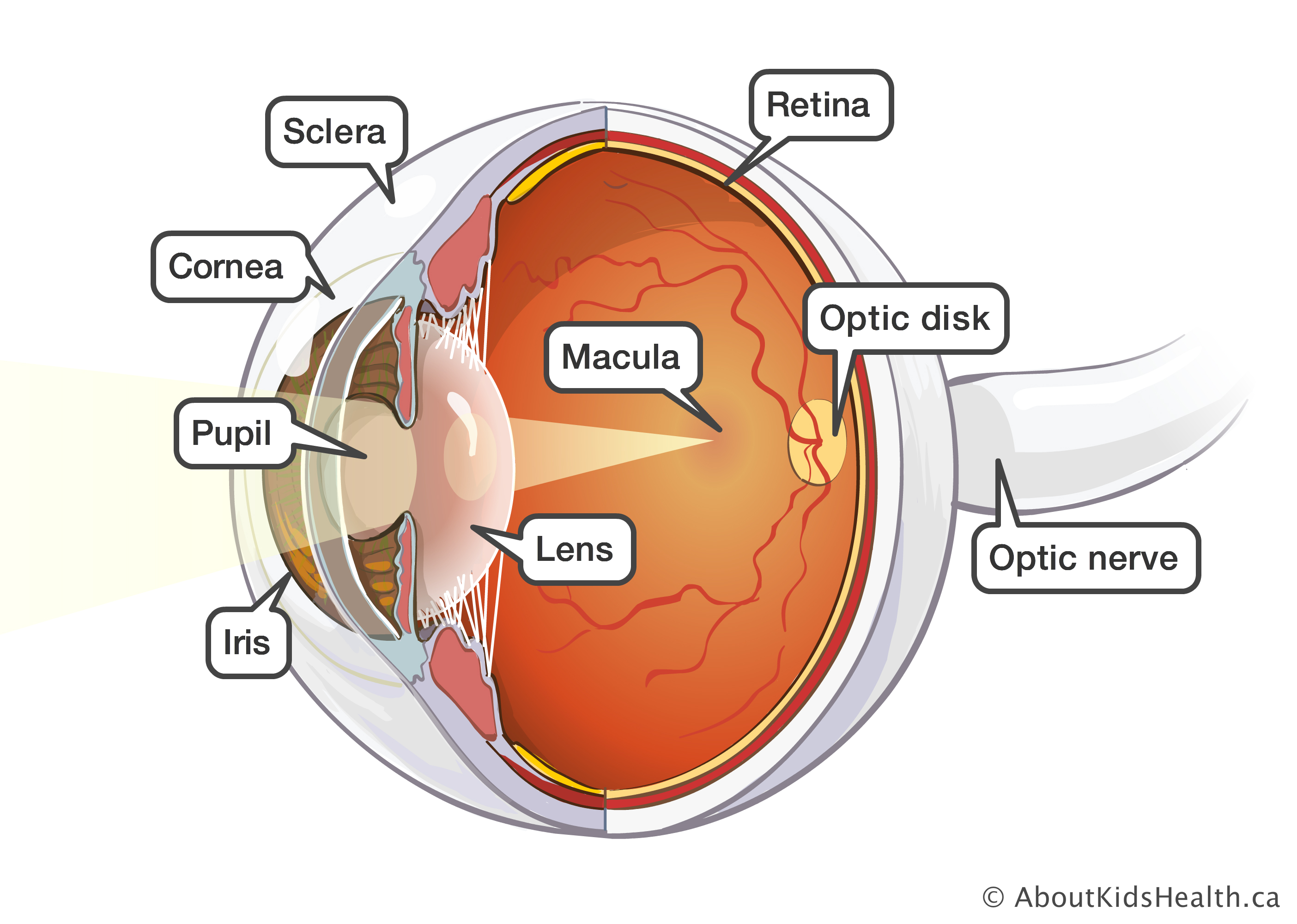 eye anatomy and function diagram of parts of the eye optic nerve optic desk  [ 2808 x 2000 Pixel ]