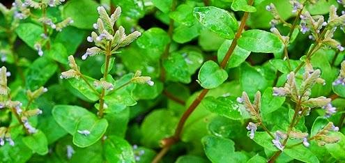 Sossego da Flora, http://sossegodaflora.blogspot.com/2016/03/aeolanthus-suaveolens-macassa-e.html
