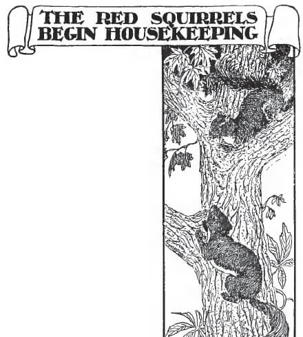 The Red Squirrels Begin Housekeeping