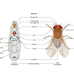 fruit fly diagram label wiring diagram yer fruit fly labeled diagram fruit fly diagram label [ 3612 x 2761 Pixel ]