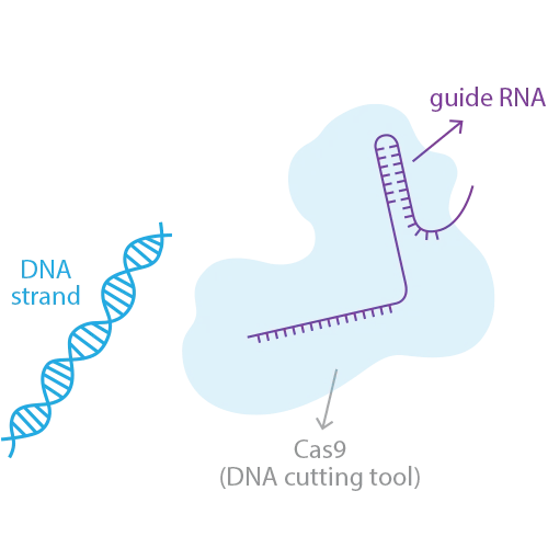 Gene Editing and Designer Babies—Why the Future