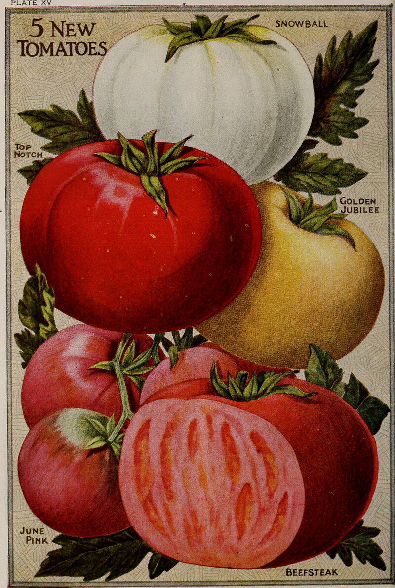 Illustration of tomatoes, c. 1920.