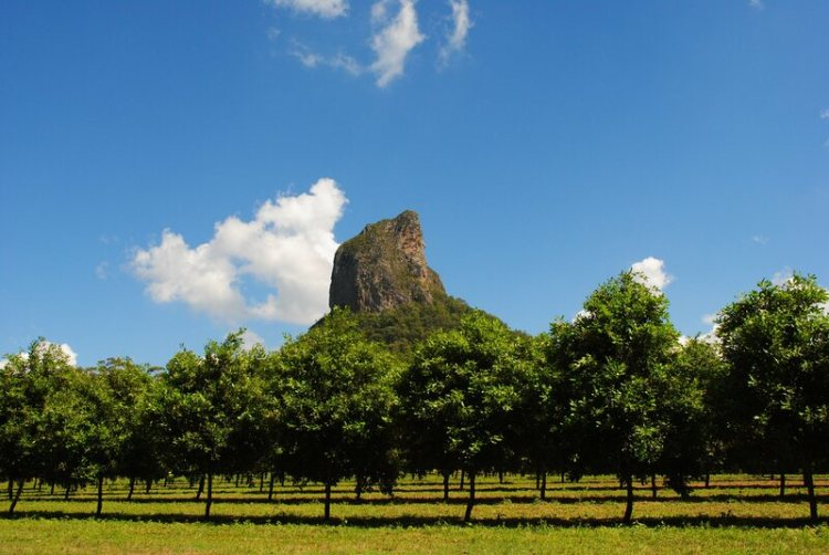 A grove of macadamia trees in Queensland, Australia.