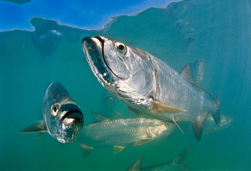 <em>Megalops atlanticus</em>, the Atlantic Tarpon, has a range from the west African coast to the shores of Brazil, and as far north as the Carolinas.