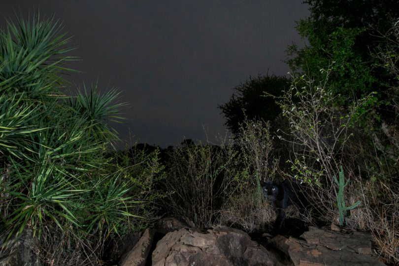 """""""A black leopard emerges from the undergrowth in Kenya's Laikipia County, April 2019."""""""