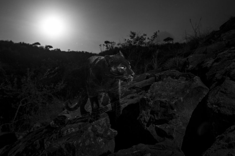 """""""The black leopard with the full moon setting behind. This photograph was taken in the spot suggested by Mohammed Parasulan, a local Maasai who first told me about seeingthe black leopard on the rocks above Luisa's house, Laikipia County, Kenya, January 2019."""""""