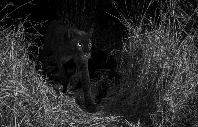 """""""The African black leopard photographed with an infrared-converted DSLR camera trap. This image was capturedon the animal trail identified by Steve Carey, the coowner of Laikipia Wilderness Camp, near Luisa Ancilotto's house in Laikipia County, Kenya, January 2019."""""""
