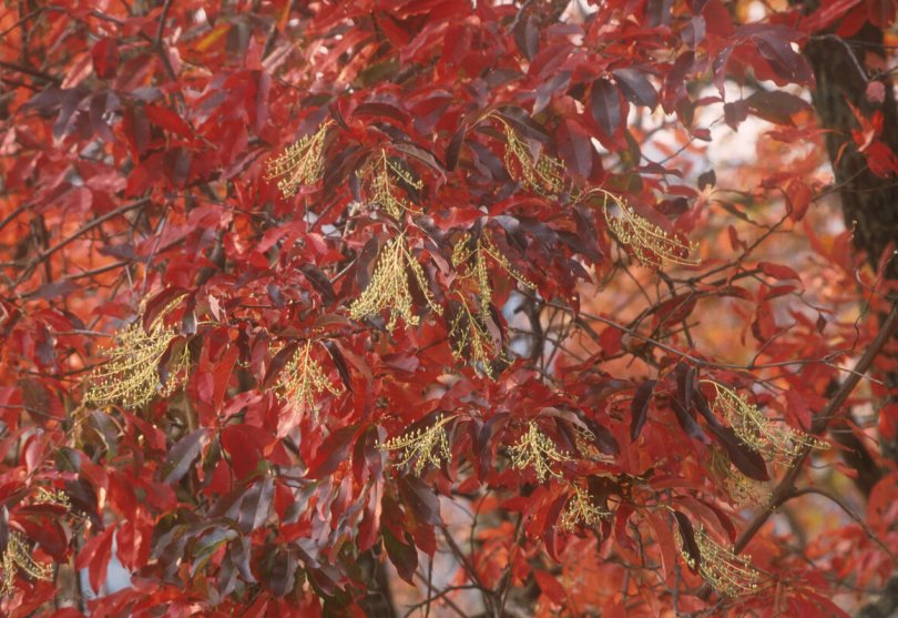 The sourwood tree can be very colorful.