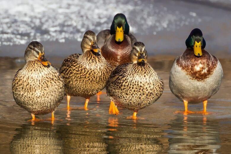ducks seen murdering snacking