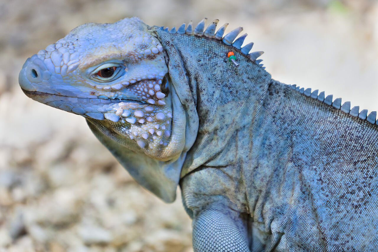 The Chef Cooking Green Iguanas to Save Blue Iguanas - Gastro Obscura