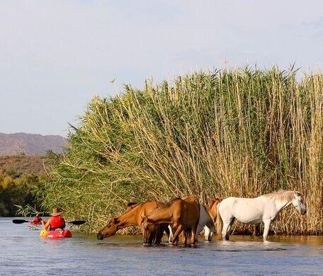 Salt River Wild Horses  Mesa Arizona  Atlas Obscura