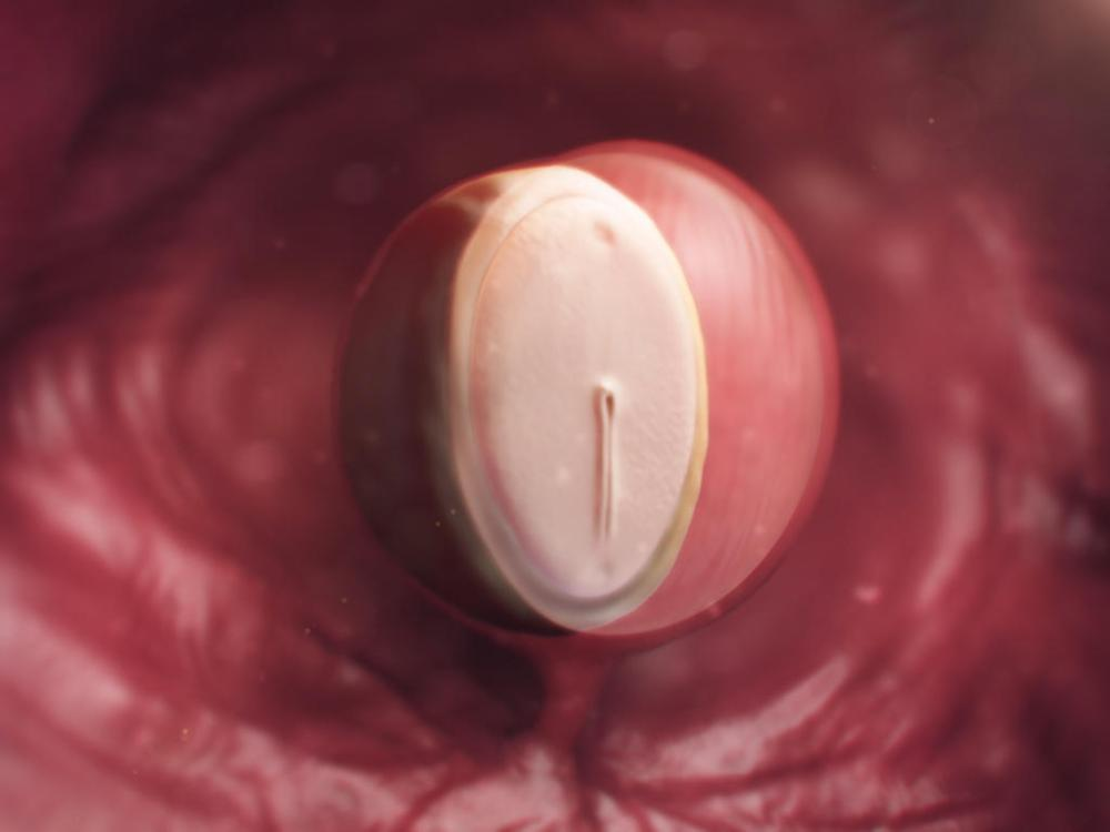 medium resolution of fetal development diagram one month