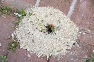 Ameisen  Jetzt schnell und sicher bekmpfen  bewertetde