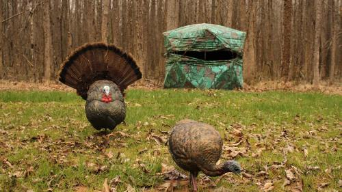 small resolution of when and how to use a full strut turkey decoy