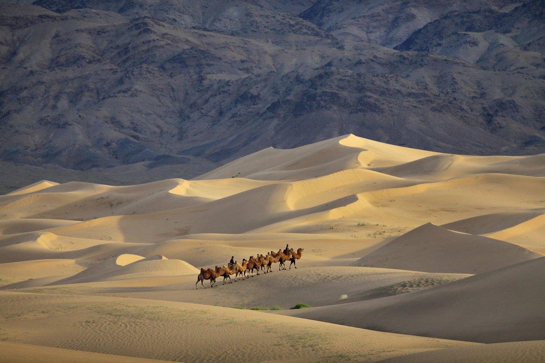 Camels in Gobi Desert