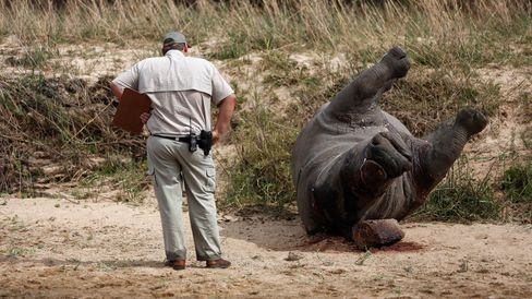 Crime scene investigator examines a recently poached rhino in Kruger National Park, South Africa.