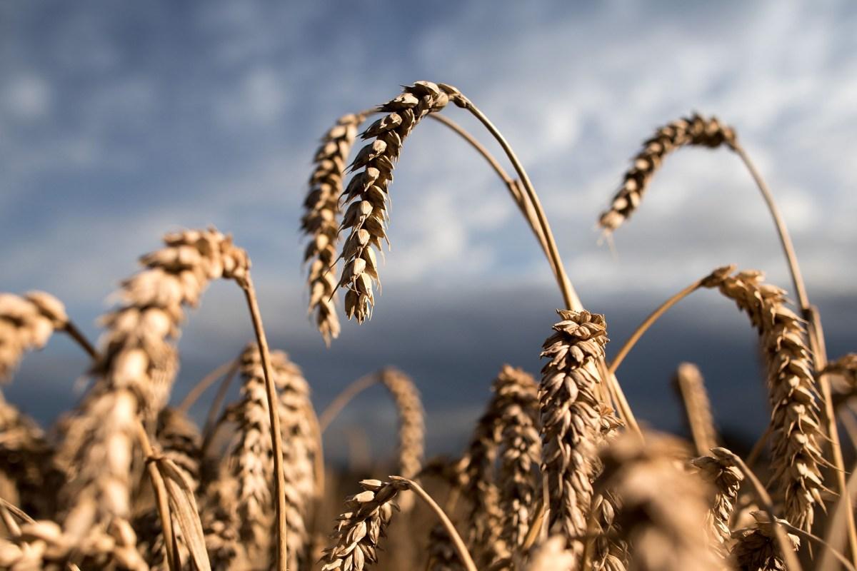 1507335236_Wheat