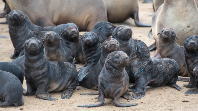 Die-Off of 5,000 Seal Pups on Beach Triggers Inquiry in Namibia - Bloomberg