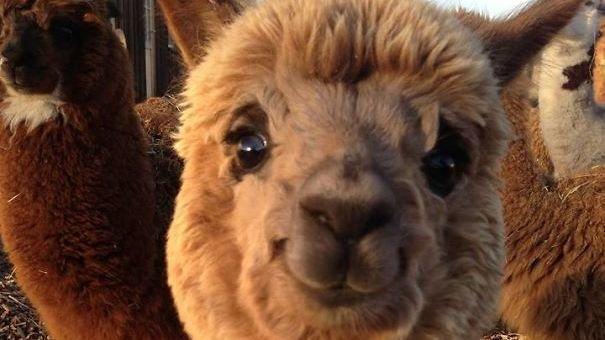 Cute Alpaca Wallpaper Petizione 183 Anonymous Alpaca Association Save The Alpaca