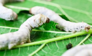 Silk_worms_346x210