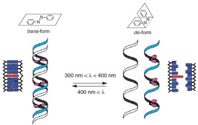 アゾベンゼンのシス-トランス変換を活用し光でDNAの二量化を制御 / 図は論文[4]を改変