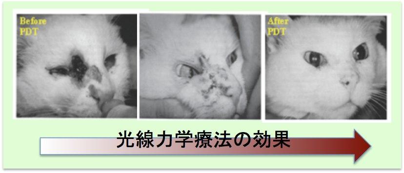 光線力学療法マウス