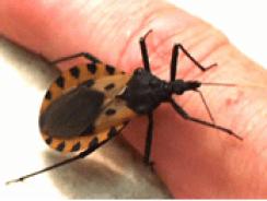 bedbug_11
