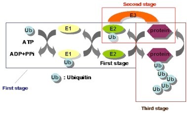 ユビキチン-プロテアソームシステム(その1)