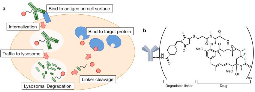 図1. a ADCの作用機序[1]. まずがん細胞特異的に発現している膜タンパク質に抗体が結合し, ADCが細胞内に取り込まれる. リソソームにADCが運ばれるとリンカーが開裂し, 小分子薬が放出される. 小分子薬は標的タンパクに結合することで生体機能を阻害し, 細胞死に導く. b FDAから承認を受けたADC (T-DM1).