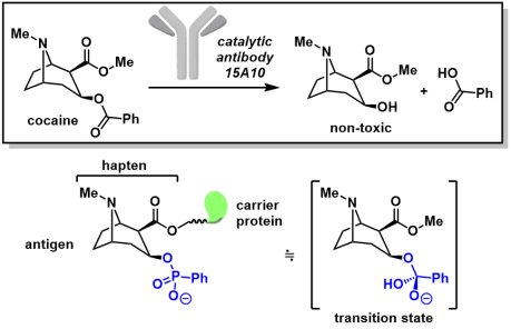 catalytic_antibody_2