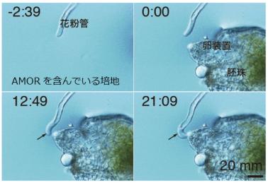 AMORアッセイ系. AMORを含んでいる培地を伸長している花粉管は、マイクロマニピュレータによって目の前に置いた胚珠の卵装置へと伸長方向を変えて誘引される.