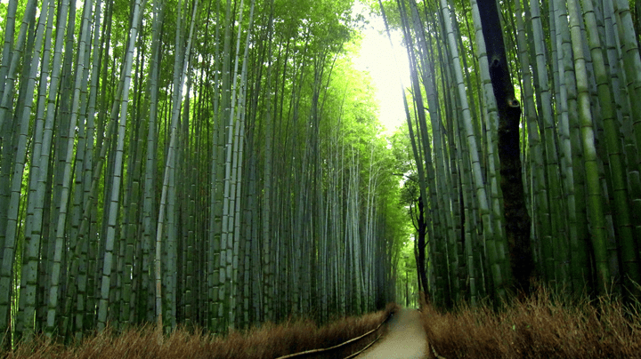Fall In Japan Wallpaper Image Of The Day Bamboo Nature S Renewable Resource