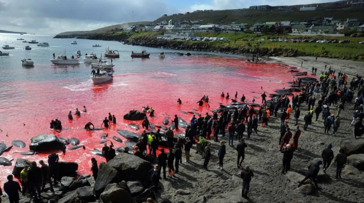 Sea turns red as hundreds of whales are slaughtered in annual tradition |  Condé Nast Traveller India