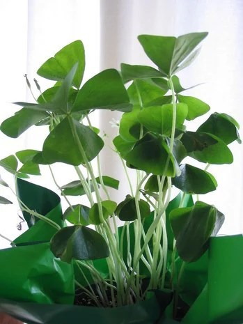 Lucky Shamrock Plant Now That I Have It How Do I Keep It