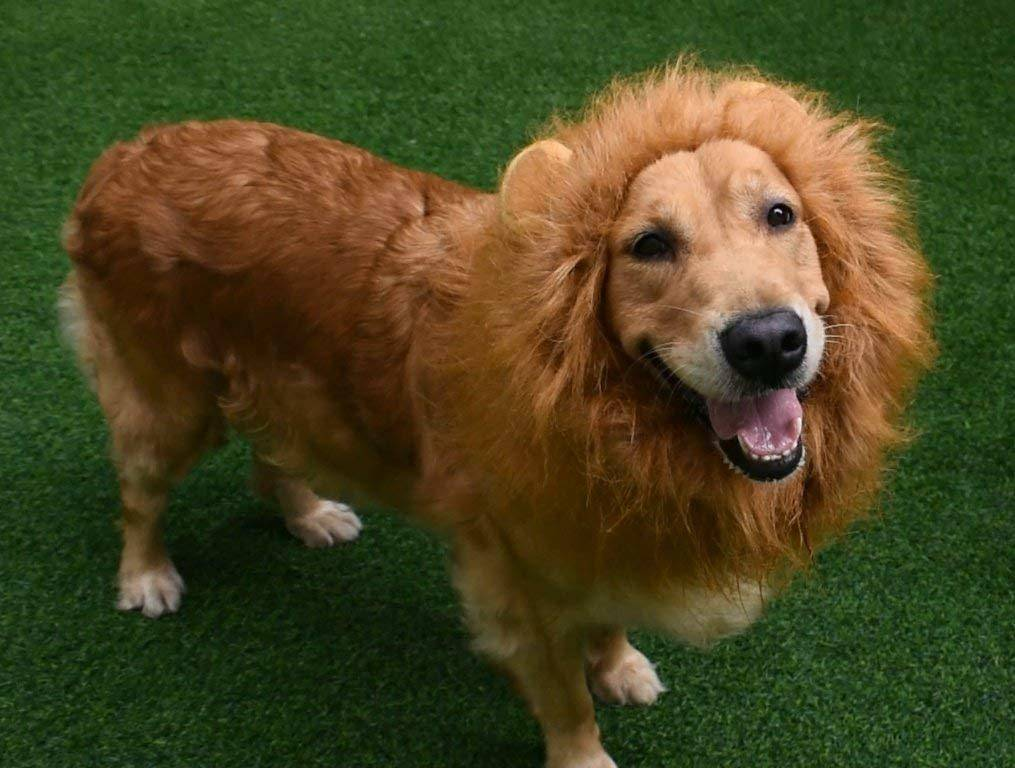 Halloween pet costume lion mane