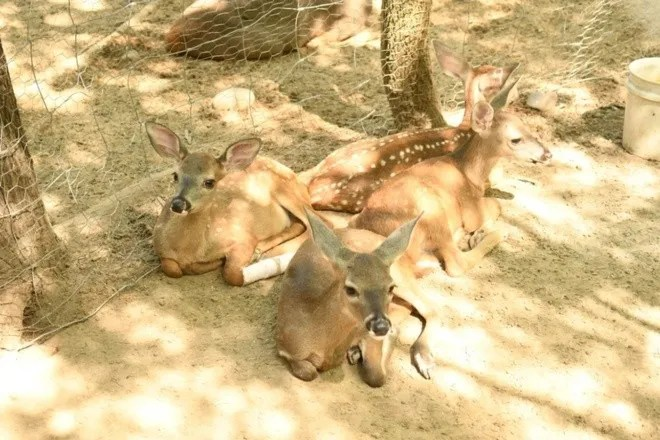 Grandiose deer in El Fuerte, Sinaloa to the rescue of species 4