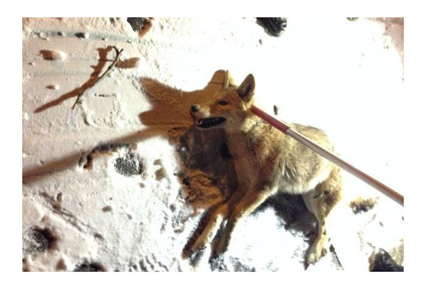 Coyote Found in Riverside Park and Released in The Bronx
