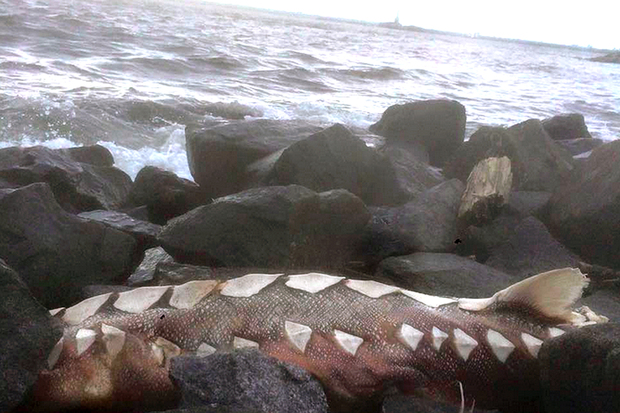Prehistoric Looking Sturgeon Washes Up on Red Hook Rocks